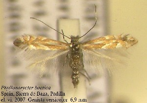 (Phyllonorycter baetica - E10baeti)  @13 [ ] Copyright (2010) Jurate de Prins Research Collection of W. and J. De Prins