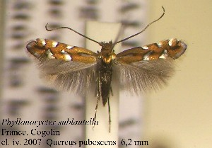 (Phyllonorycter sublautella - F10subla)  @15 [ ] Copyright (2010) Jurate de Prins Research Collection of W. and J. De Prins