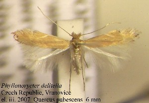 (Phyllonorycter delitella - F11delit)  @14 [ ] Copyright (2010) Jurate de Prins Research Collection of W. and J. De Prins