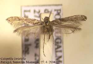 (Caloptilia loriolella - F07lori)  @11 [ ] Unspecified (default): All Rights Reserved  Unspecified Unspecified