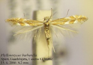 (Phyllonorycter barbarella - G10barba)  @14 [ ] Copyright (2010) Jurate de Prins Research Collection of W. and J. De Prins