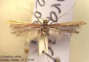 (Caloptilia nobilella - G01nobil)  @13 [ ] Copyright (2010) Jurate de Prins Research Collection of W. and J. De Prins