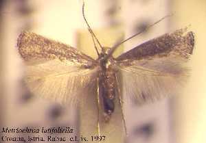 (Metriochroa - H09latif)  @14 [ ] Copyright (2010) Jurate de Prins Research Collection of W. and J. De Prins