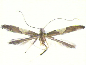 (Caloptilia sp. n - CLV12307)  @12 [ ] Unspecified (default): All Rights Reserved  Unspecified Unspecified