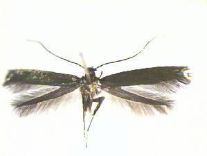 (Eucalybites - CLV21407)  @13 [ ] Copyright (2010) Carlos Lopez-Vaamonde  Institut National de la Recherche Agronomique, Forestry Zoology