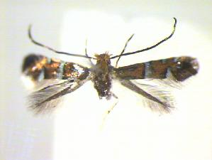 (Phyllonorycter pygmaea - CLV22107)  @12 [ ] Copyright (2010) Jurate de Prins Research Collection of W. and J. De Prins