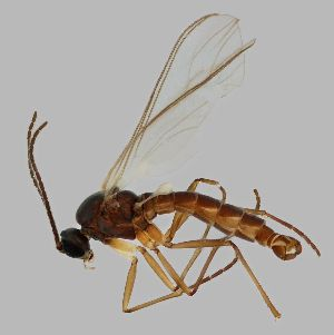 (Lycoriella flavipeda - GRPV8)  @14 [ ] Copyright (2013) Tomas Roslin University of Helsinki