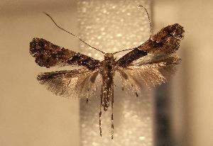 (Caloptilia sapiivora - AK0229)  @12 [ ] Copyright (2012) Atsushi Kawakita Unspecified