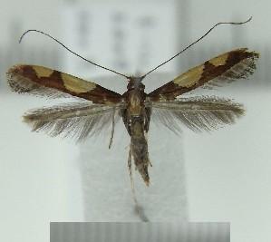(Caloptilia ryukyuensis - AK0184)  @11 [ ] Copyright (2011) Atsushi Kawakita Unspecified