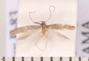 (Metriochroa - CLV2285)  @14 [ ] Copyright (2011) David C. Lees Unspecified