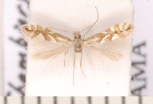 (Phyllonorycter sorbi - CLV2329)  @13 [ ] Copyright (2011) David C. Lees Unspecified