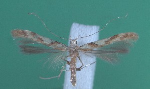 (Caloptilia acerivorella - CLV2601)  @13 [ ] Copyright (2011) David C. Lees Unspecified