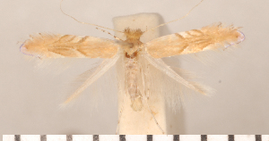 (Phyllonorycter extincta - CLV2724)  @13 [ ] Copyright (2011) David C. Lees Research Collection of David C. Lees