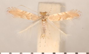 (Phyllonorycter extincta - CLV2727)  @13 [ ] Copyright (2011) David C. Lees Research Collection of David C. Lees