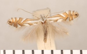 (Phyllonorycter vulturella - CLV2803)  @13 [ ] Copyright (2011) David C. Lees Unspecified