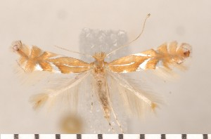 (Phyllonorycter belotella - CLV2852)  @14 [ ] Copyright (2011) David C. Lees Unspecified