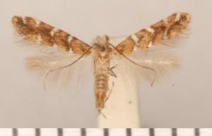 (Cameraria umbellulariae - CLV290911)  @12 [ ] Copyright (2011) David C. Lees Unspecified