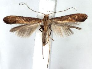 (Caloptilia aurantiaca - DP09088)  @13 [ ] Copyright (2010) Jurate de Prins Research Collection of W. and J. De Prins