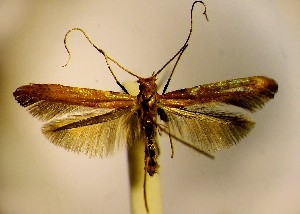 (Caloptilia coruscans - LA2corus)  @13 [ ] Copyright (2012) Zdenek Lastuvka Unspecified