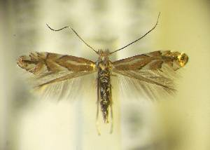(Phyllonorycter hispanicus - LAB10spn)  @13 [ ] Copyright (2013) Zdenek Lastuvka Unspecified