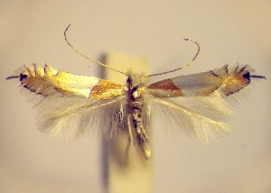 (Phyllonorycter roboris - LB7robor)  @14 [ ] Copyright (2012) Zdenek Lastuvka Unspecified