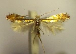 (Phyllonorycter rebimbasi - LC7rebim)  @13 [ ] Copyright (2012) Zdenek Lastuvka Unspecified