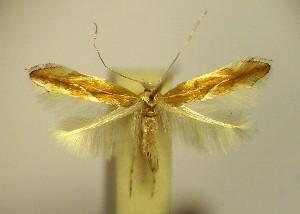 (Phyllonorycter suberifoliella - LC8suber)  @14 [ ] Copyright (2012) Zdenek Lastuvka Unspecified