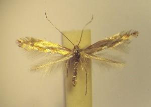 (Phyllonorycter scorpius - LD12scor)  @11 [ ] Copyright (2012) Zdenek Lastuvka Unspecified