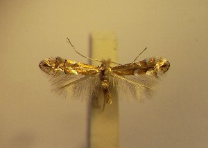 (Phyllonorycter phyllocytisi - LD4phyll)  @13 [ ] Copyright (2012) Zdenek Lastuvka Unspecified