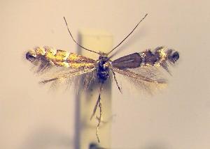 (Phyllonorycter insignitella - LE1insig)  @13 [ ] Copyright (2012) Zdenek Lastuvka Unspecified