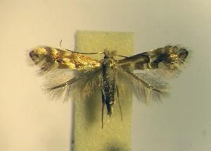 (Phyllonorycter viminetorum - LF10vimi)  @13 [ ] Copyright (2012) Zdenek Lastuvka Unspecified