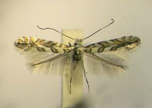 (Phyllonorycter ZL05 - LG1sp.n.)  @13 [ ] Copyright (2012) Zdenek Lastuvka Unspecified