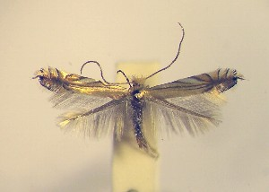 (Phyllonorycter scitulella - LG3scitu)  @13 [ ] Copyright (2012) Zdenek Lastuvka Unspecified