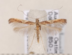 (Caloptilia fidella - CLV1526)  @14 [ ] Copyright (2011) David C. Lees Research Collection of David C. Lees
