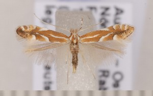 (Phyllonorycter salictella - CLV1551)  @14 [ ] Copyright (2011) David C. Lees Research Collection of David C. Lees