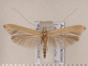 (Caloptilia roscipennella - CLV1642)  @15 [ ] Copyright (2010) David C. Lees Unspecified