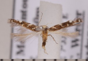 (Vulcaniella fiordalisa - CLV1831)  @13 [ ] Copyright (2010) David C. Lees Research Collection of David C. Lees