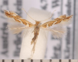 (Phyllonorycter muelleriella - CLV2237)  @14 [ ] Copyright (2011) David C. Lees Unspecified