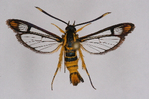 (Ichneumenoptera - CCDB-04610 H07)  @15 [ ] CreativeCommons - Attribution Non-Commercial Share-Alike (2010) Sesiidae Research Group Sesiidae Research Group