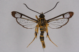 (Paranthrenella - CCDB-04610 H09)  @11 [ ] CreativeCommons - Attribution Non-Commercial Share-Alike (2010) Sesiidae Research Group Sesiidae Research Group