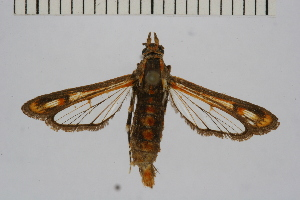 (Rodolphia - CCDB-14647 H10)  @11 [ ] CreativeCommons - Attribution Non-Commercial Share-Alike (2012) Sesiidae Research Group Sesiidae Research Group