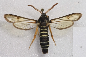 (Eusphecia - CCDB-04688 A01)  @15 [ ] CreativeCommons - Attribution Non-Commercial Share-Alike (2012) Sesiidae Research Group Sesiidae Research Group