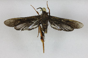 (Megalosphecia - CCDB-14649 F08)  @12 [ ] CreativeCommons - Attribution Non-Commercial Share-Alike (2012) Sesiidae Research Group Unspecified
