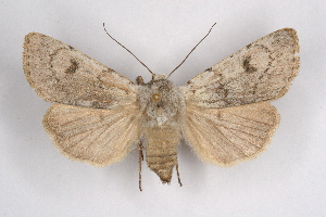 (Agrotis simplonia - CCDB-04645 H11)  @15 [ ] Unspecified (default): All Rights Reserved  Unspecified Unspecified