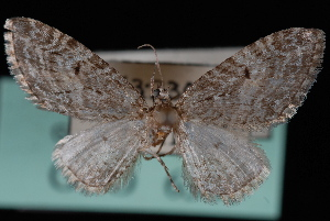 (Eupithecia harrisonata - CNCLEP00034107)  @13 [ ] CreativeCommons - Attribution Non-Commercial Share-Alike (2010) Jeremy deWaard University of British Columbia