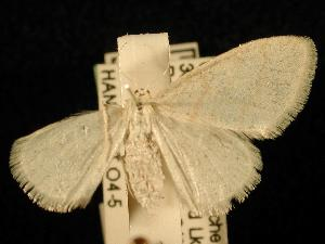 (Idaea rotundopennata - NFRC-P-2007-100040)  @13 [ ] CreativeCommons - Attribution (2010) Jeremy deWaard University of British Columbia