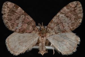 (Hydriomena marinata - PFC-2007-0305)  @13 [ ] CreativeCommons - Attribution (2010) Jeremy deWaard University of British Columbia