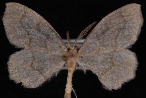 (Lambdina fiscellaria lugubrosa - PFC-2007-0403)  @13 [ ] CreativeCommons - Attribution (2010) Jeremy deWaard University of British Columbia
