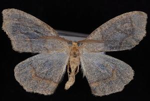 (Lambdina fiscellaria somniaria - PFC-2007-0410)  @13 [ ] CreativeCommons - Attribution (2010) Jeremy deWaard University of British Columbia