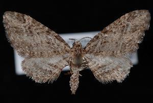 (Eupithecia maestosa - ENT007-002419)  @13 [ ] CreativeCommons - Attribution (2010) Jeremy deWaard University of British Columbia